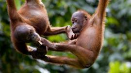 مركز التاهيل سيبيلوك لانسان الغاب في ماليزيا (حديقة القردة) - في ماليزيا