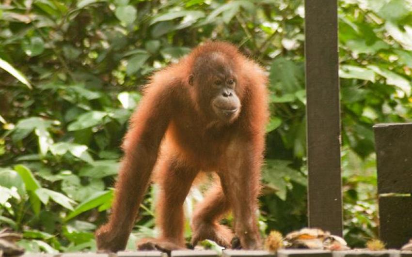 مركز التاهيل سيبيلوك لانسان الغاب في ماليزيا (حديقة القردة)
